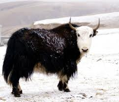Yak in the Snow Image
