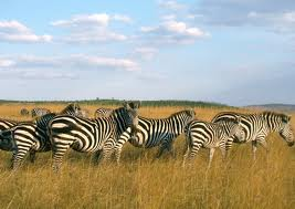 Herd of Zebras Image
