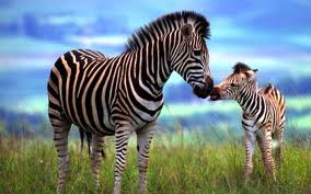 Zebra Fun Facts for Kids