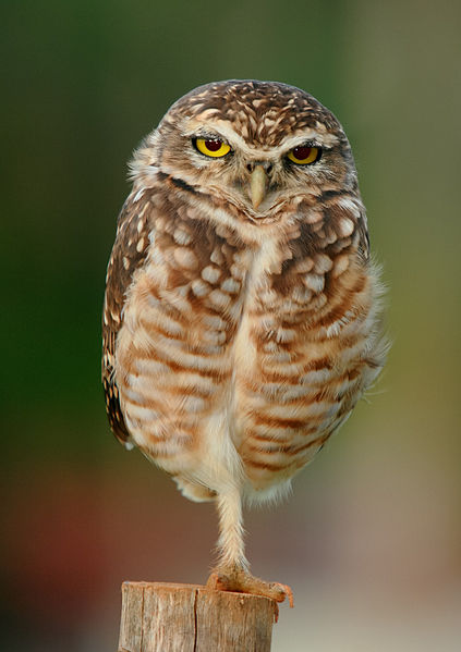 A burrowing owl is one type of animal found in grasslands