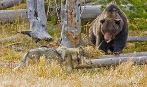 Animals in Yellowstone National Park Image