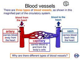 Blood Vessel Arrangement Image