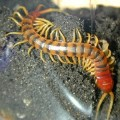 centipede-on-the-ground image