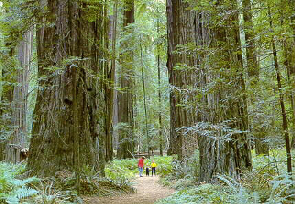 Red Wood Trees in the Redwood Forest Image