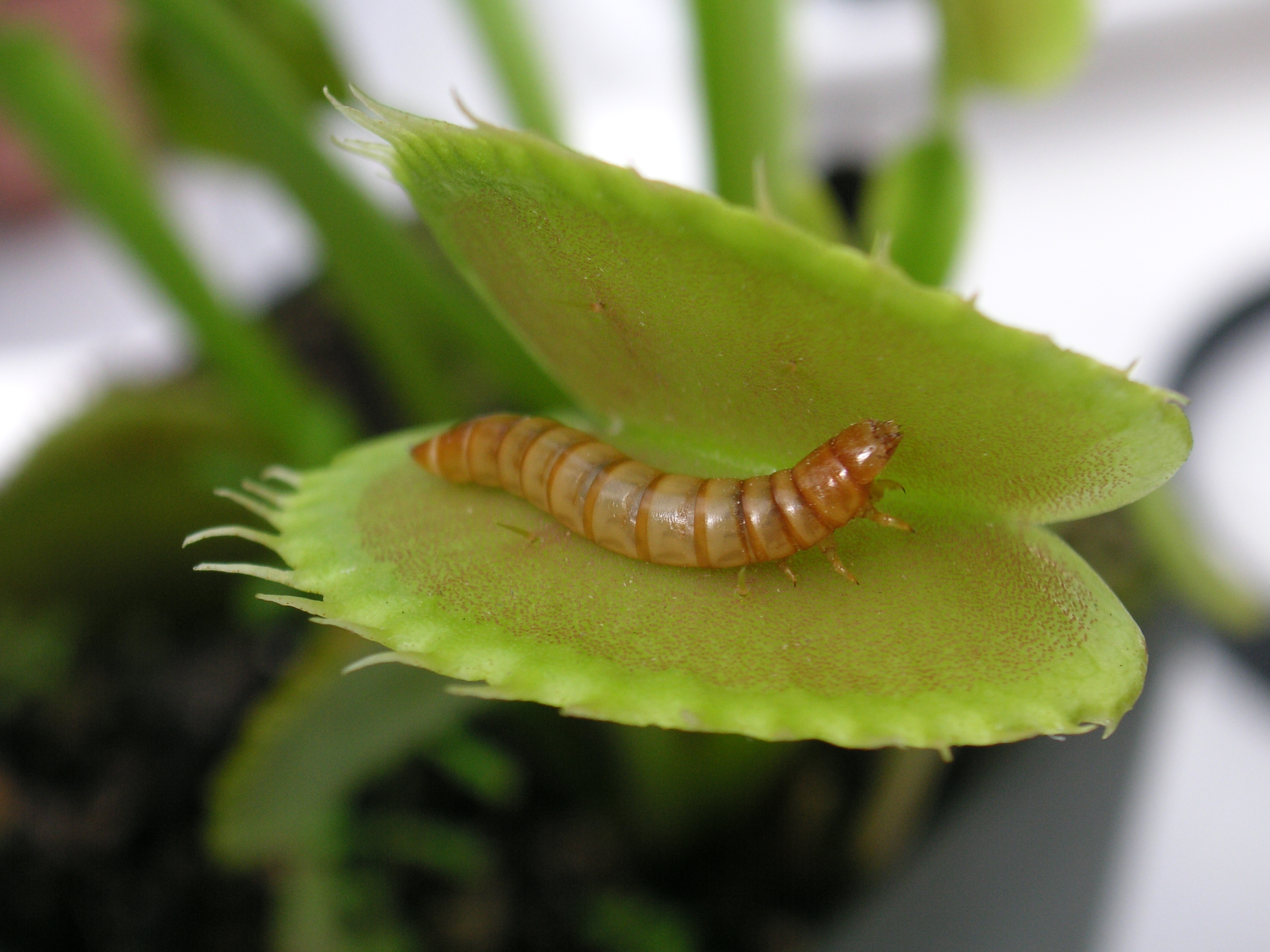 Plants - Cool Science Facts for Kids About PlantsEasy ... Carnivorous Plants Eating
