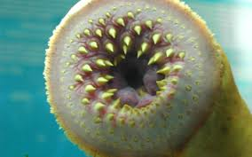 Sea Lamprey Image - Science for Kids All About Jawless Fish