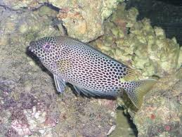 Poisonous Rabbitfish Image
