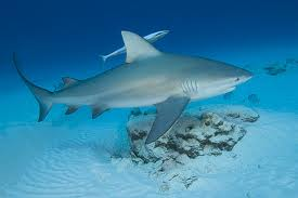A Swimming Bull Shark Image