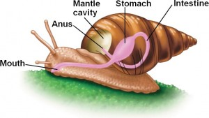 Main Body Parts of Mollusks Image