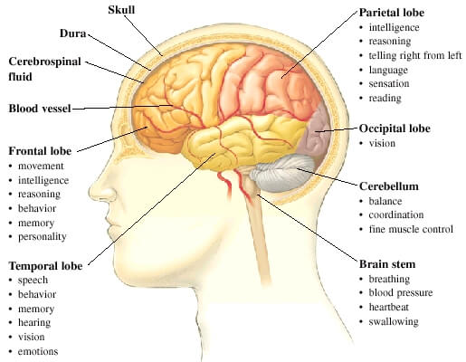 major parts of the brain and their functions - brain image, Human Body