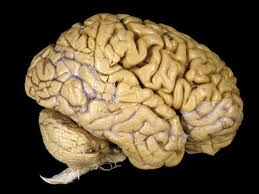 Human Brain Image - Science for Kids All About Your Amazing Brain