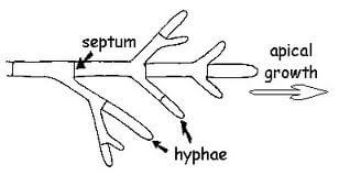 Hyphae Illustration Image