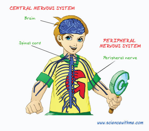 main Parts of the Central Nervous System Image - Science for Kids All About Your Nerves