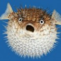 bloated-puffer-fish image