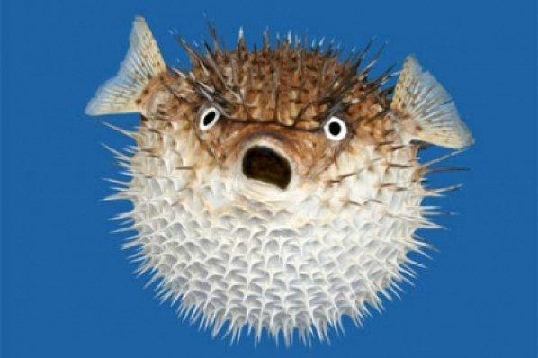 A Bloated Puffer Fish Image - Science for Kids All About Poisonous Fish