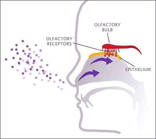 How the nose works sense of smell image how the nose works image ccuart Image collections