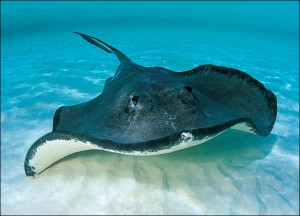 Stingray at the Bottom of the Sea Image - All About Poisonous Fish Facts for kids