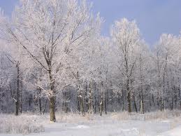 Frost on Trees Image