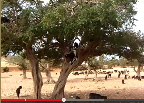 Goats in a Tree Weird Animal Video