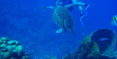 All about Belize for Kids - image of a Green Sea Turtle with Remora Fish on it's Back taken at the Belize Barrier Reef