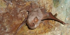 All about Caves Fun Science Facts for Kids - a Bat on a Cave Wall