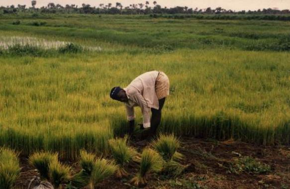 Easy Earth Science or Kids on Sierra Leone - image of Rice Farming in Sierra Leone