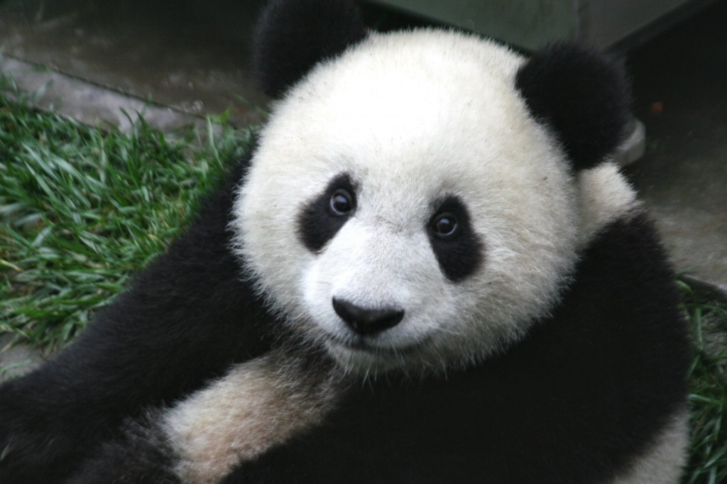 Easy Geography for Kids on China - Image of a Giant Panda in China