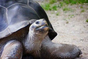 All About How the Tortoise Got Its Shell Story - Image of a Giant Tortoise