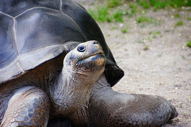 All About How the Tortoise Got Its Shell - Image of a Giant Tortoise