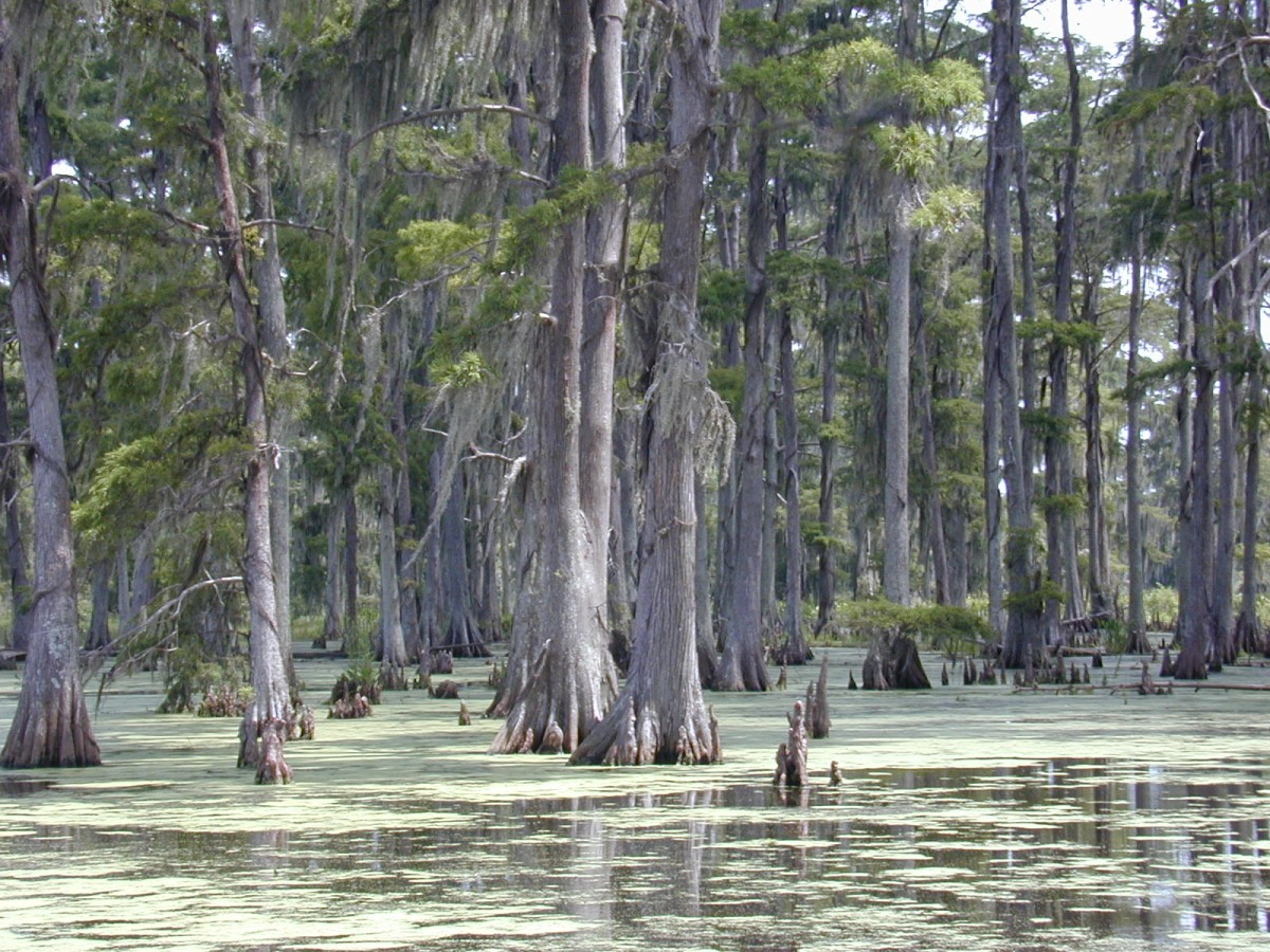 Easy Science for Kids Southern United States Quiz - Image of Cypresses in the Swamps in Louisiana