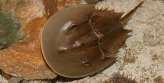 Fun Facts on Horseshoe Crabs or Xiphosura for Kids - Image of a Xiphosura Swimming