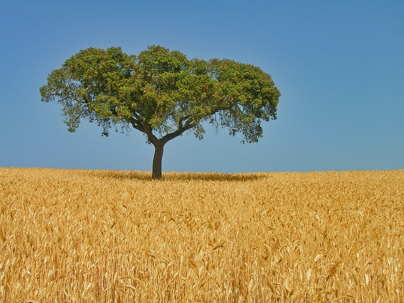 Fun Geography for Kids on Portugal - Image of an Oak on Wheat Field
