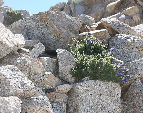 The sky pilot, one of the few plants able to grow near the summits of very tall mountains