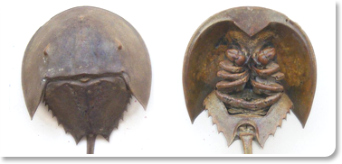 Xiphosura, The Horseshoe Crab