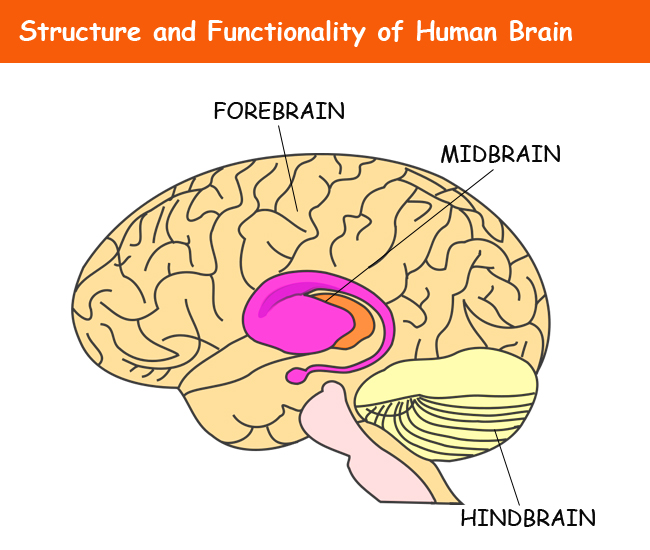 structure-and-functionality-of-human-brain