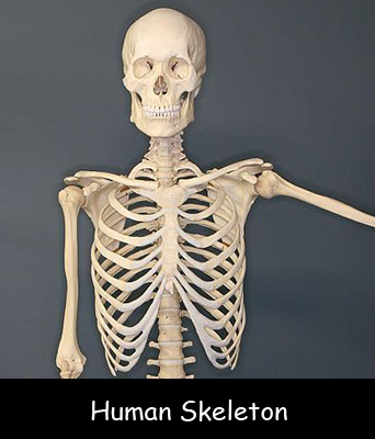 Human Skeleton Structure And Facts For Kids