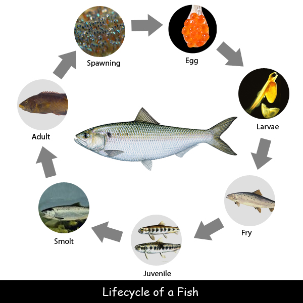 lifecycle-of-a-fish