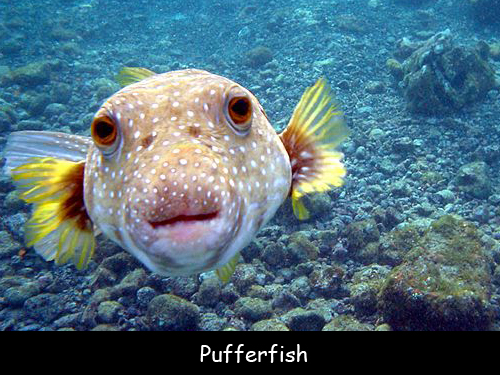 World 39 s most dangerous fish facts for kids for Types of puffer fish