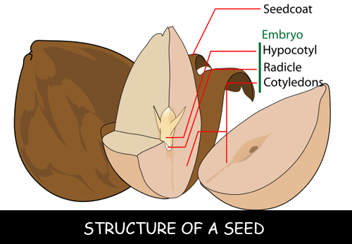 Structure-of-a-Seed