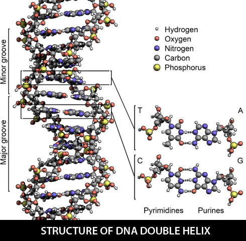Structure-of-DNA-double-helix