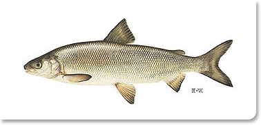 Image of Lake Whitefish