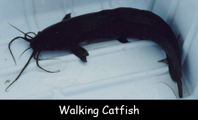 Facts for Kids about Walking Catfish - photo#8