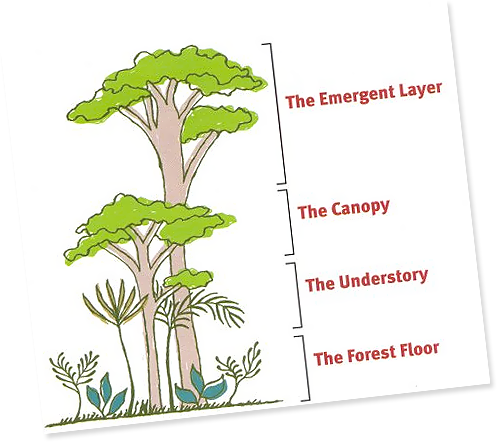 rain forest animals and plants live in the canopy