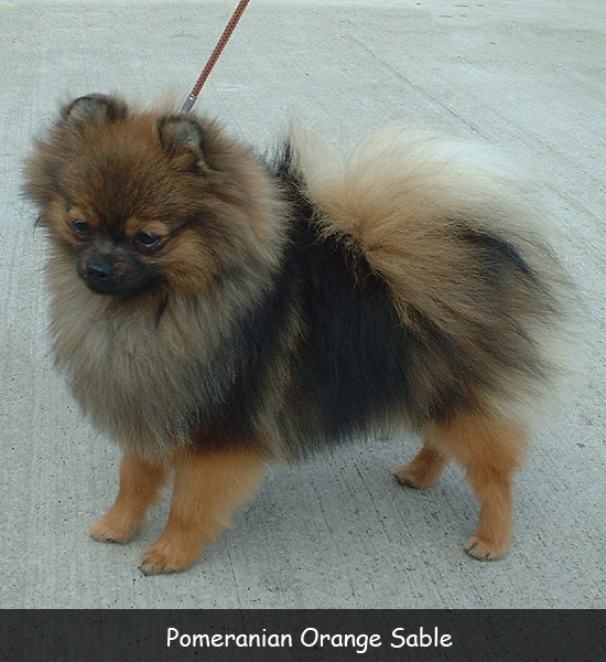 Pomeranian Orange Sable