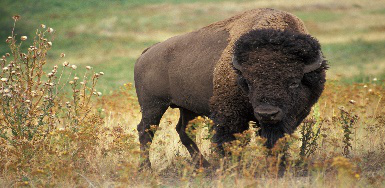The American buffalo or Bison