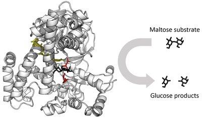 This image has an empty alt attribute; its file name is enzyme-2.jpg